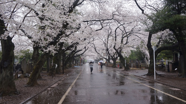 Cherry trees in Yanaka cemetery